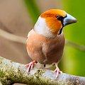 Grubodziób,- #zięby #ptaki #ogrody #natura #alicjaszrednicka #Grubodziób Kernbeißer
