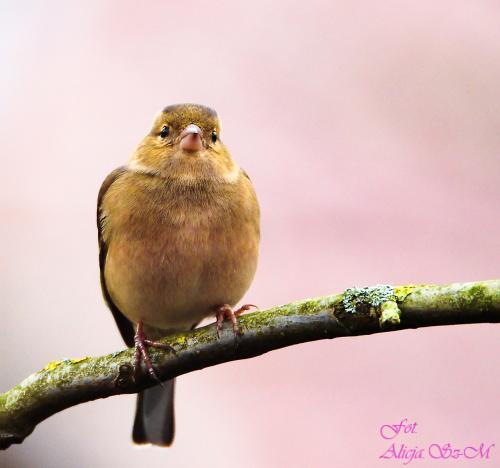 Zięba,- #zięby #ptaki #ogrody #natura #alicjaszrednicka