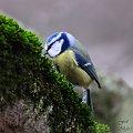 Modraszka ,- #ptaki #sikorki #modraszki #zima #natura #fauna #alicjaszrednicka #fografia #foto