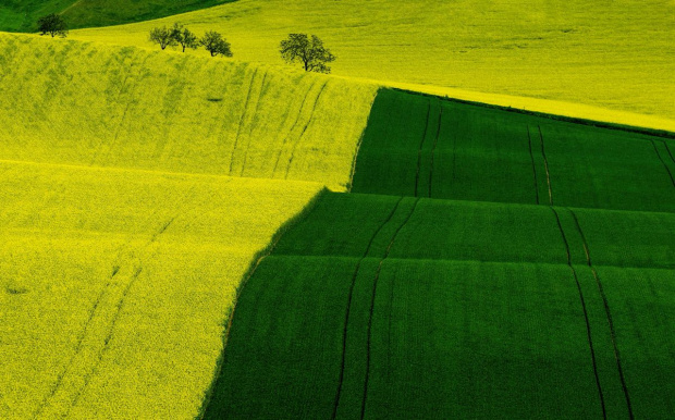 Rzepakowe pola