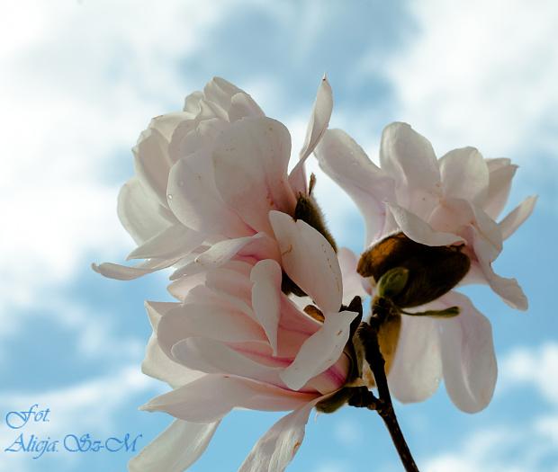 Magnolie2 #wiosna2019 #magnolie #natura #drzewa #kwiaty
