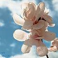Magnolie..,- #wiosna2019 #magnolie #natura #drzewa #kwiaty