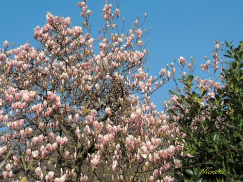 Magnolia tulipanowa