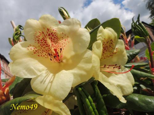 Kwiaty różanecznika o rzadko spotykanej barwie i urodzie