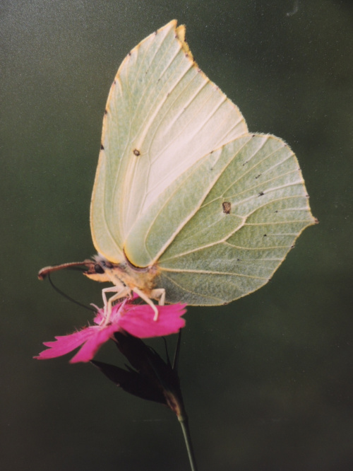 Cytrynek (Gonepteryx rhamni)