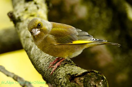 Dzwoniec ktory przez kilka dni byl Czyżem :))...:-#ptaki #buchfink #zieby #kowaliki #bogatki #natura #przyroda