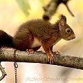 Wiewiórka smakoszka pestek slonecznikowych dla ptaków :)) #zwierzeta #naura #przyroda #wiewiorki