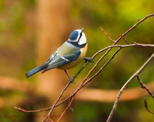Modraszka:- #modraszki #zieby #ptaki #natura #przyroda
