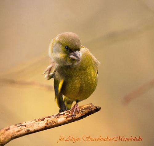 Dzwoniec:- #dzwonce #modraszki #zieby #ptaki #natura #przyroda
