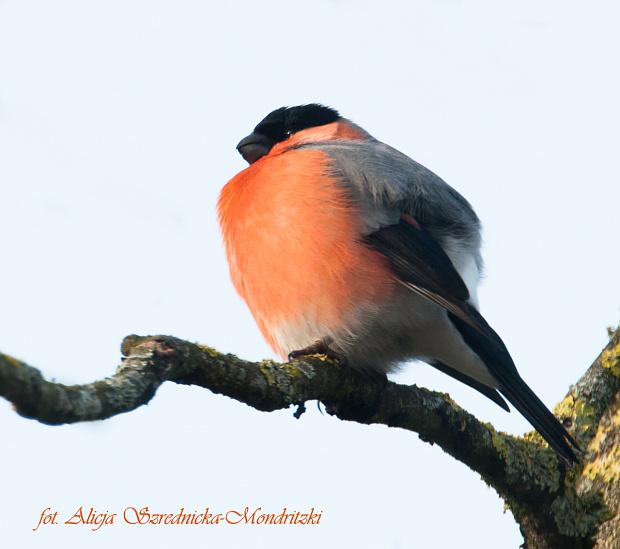 Gil z wiatrm w piorach..:) #ptaki #zwierzeta #gile #zieby