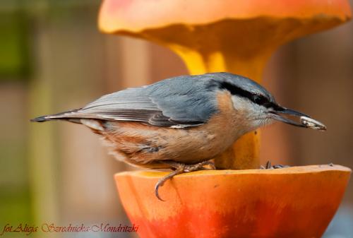 Kowalik.- #ptaki #kowalik #natura #ogrody