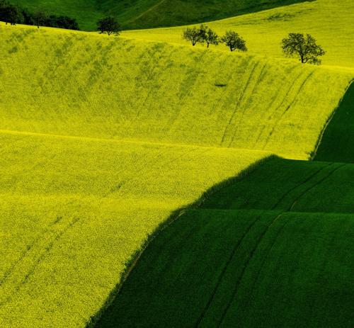 Żółte dywany