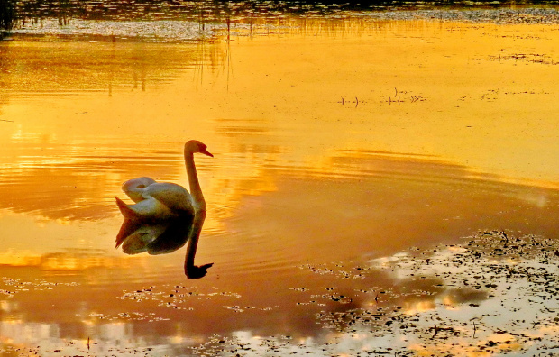 Królewski ptak - cały w złocie