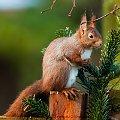 Wiewiorka.- #natura #wiewiorki