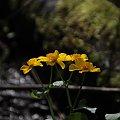 Knieć błotna #Kaczeniec #Flowers #Nature