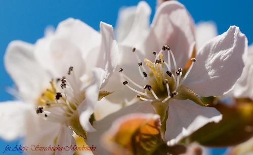 Wiosna 2020 ,Grusza. #owady #przyroda #ogrody #lilie