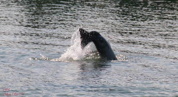 Nurkujaca foka ,- #foki #helgoland seehundebänke #morze #natura