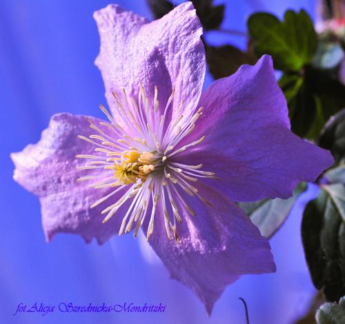 Clematis.- #kwiaty #Clematis #ogrody