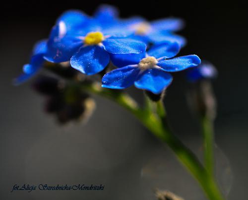Niezapominajki... #kwiaty #niezapominajki #ogrody #wiosna2020 #natura