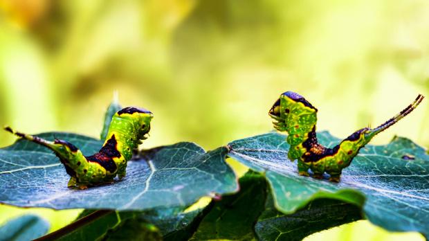 gąsienice ćmy dziwaczki widłogonki.:)