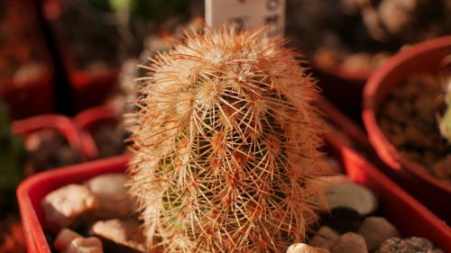Echinocereus fitchii bergmanii (San Carlos)