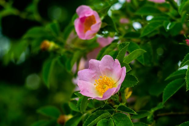 dzika róża wolny kwiat