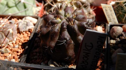 Neoporteria dimorpha