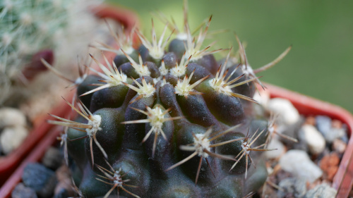 Eriosyce crispa var. huascensis
