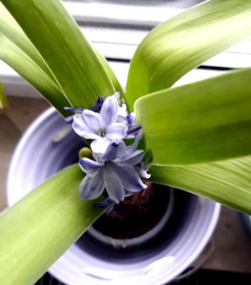 Wiosna na moim parapecie - Hiacynt kwitnie po raz drugi.