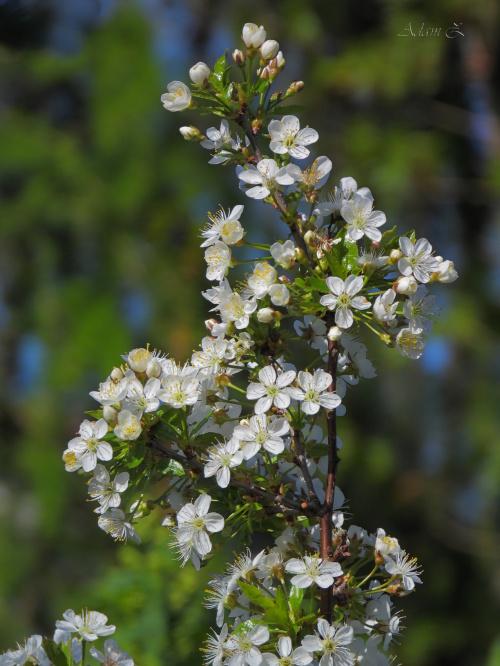 kwitnąca wiśnia