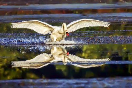 łabędź - perfekcyjne lądowanie.:)