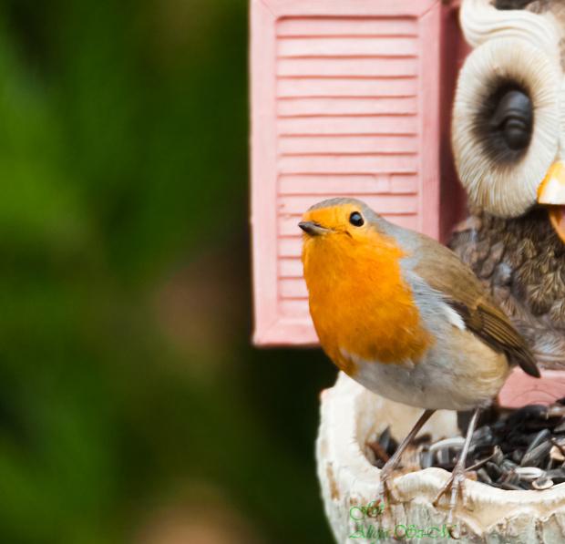 Rudzik:,- #rudzik #ptaki #ogrody #zima #alicjaszrednicka #NRW