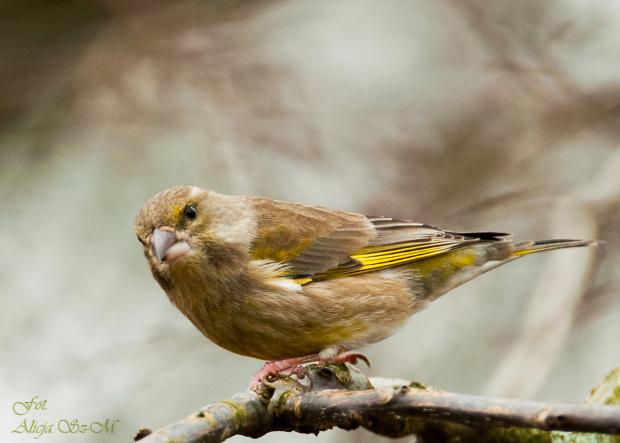 Zielona zieba:,- #rudzik #ptaki #ogrody #kosy #zima #alicjaszrednicka #NRW