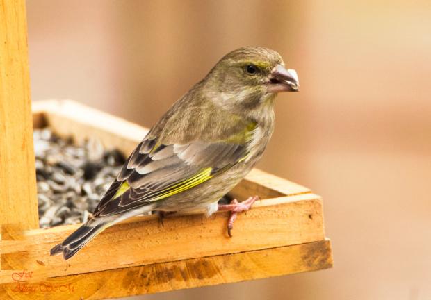 z niem:Zielona zieba/dzwoniec/:,- #rudzik #ptaki #ogrody #kosy #zima #alicjaszrednicka #NRW